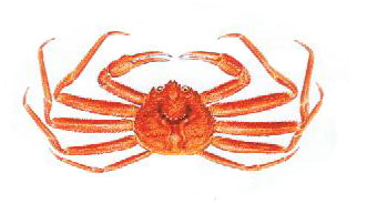 Pictures Of Red Snow Crab 17